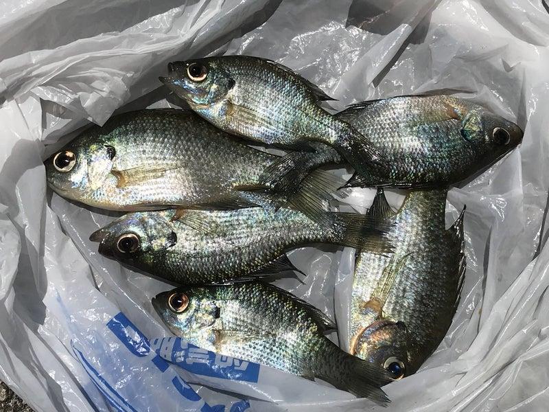 ブルーギル 釣り