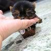 特選犬 超スーパー極小サイズのヨーキ王子登場の画像