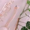 身体を支える仙腸関節の画像