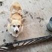 6/14 茨城ブリーダー放棄犬3頭の引取 ~廃業に向けてのアシスト