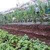 6/23(土)の作業-空芯菜の定植と夏野菜の収穫-の画像