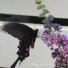 我が庭に訪れる蝶達+1匹の画像