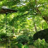note京都マガジン『爽やかな季節を感じる青紅葉。』更新ですの画像
