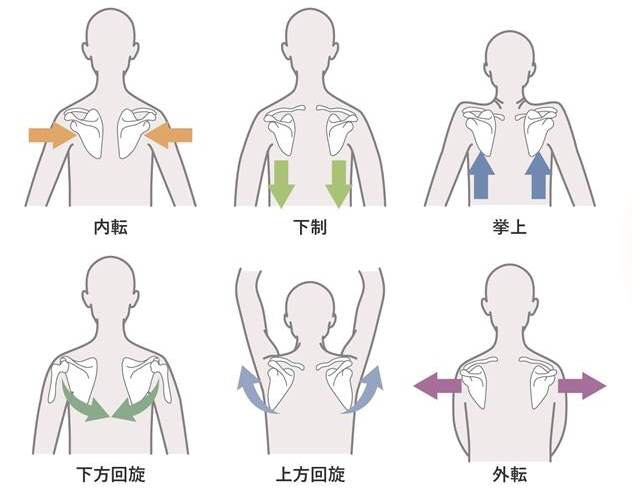 「肩甲骨の動き」の画像検索結果