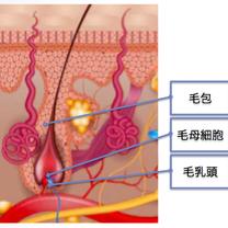 クローブ精油の発毛・育毛効果の記事に添付されている画像