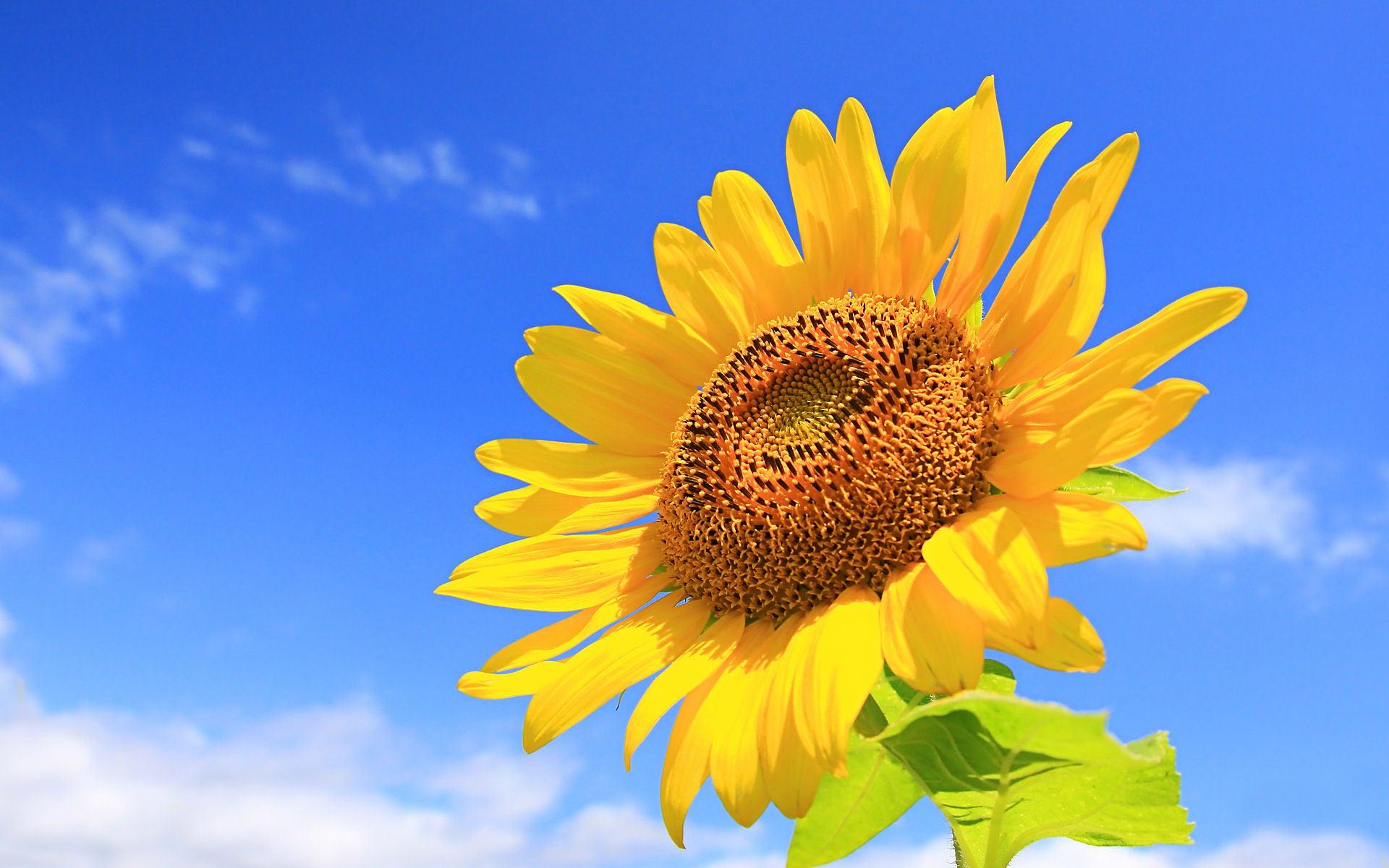 ひまわり 花 言葉 花言葉・ひまわりの意味は?笑顔や元気な気持ちになる言葉が沢山!