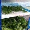 畑の野菜を干すことと備蓄についての画像