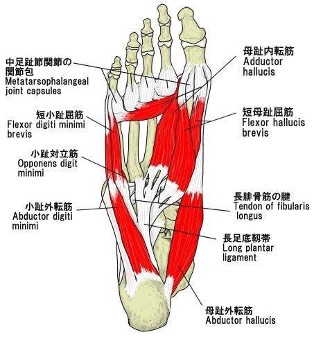 「足底 構造」の画像検索結果