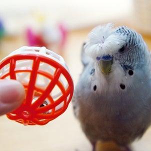 インコと遊ぼう!転がるおもちゃ大集合 ボール編②の画像