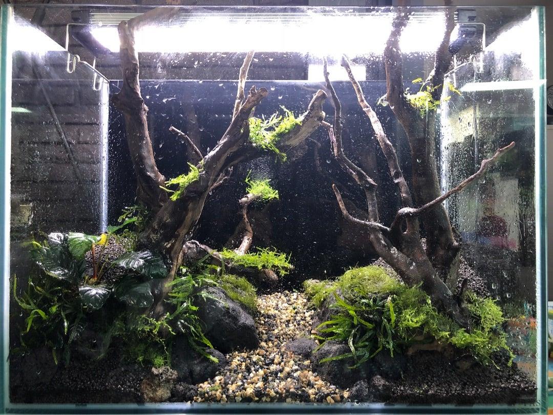 moonkageのアクアリウムブログ60センチ水槽レイアウト〜二本の流木を使って・水草植栽から完成まで〜
