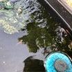 水換え後のメダカの様子と放置稚魚