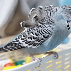 1歳になりました【まんが×羽衣セキセイインコ】小鳥が転がる理由とは?の画像