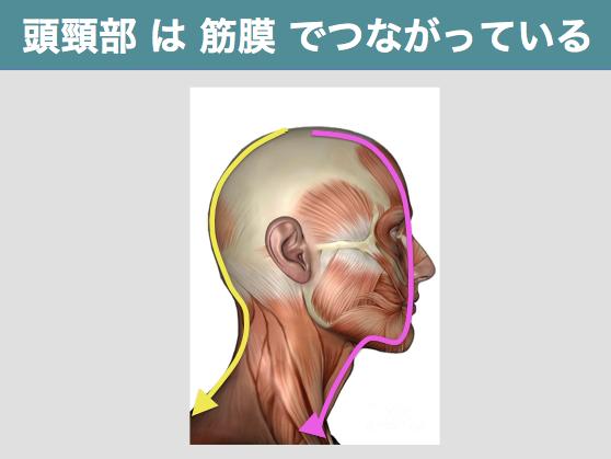 「頭部 筋膜」の画像検索結果