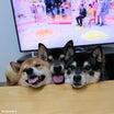 柴犬むぎゅむぎゅ!柴犬ペロペロ!~柴犬ひなあおそら