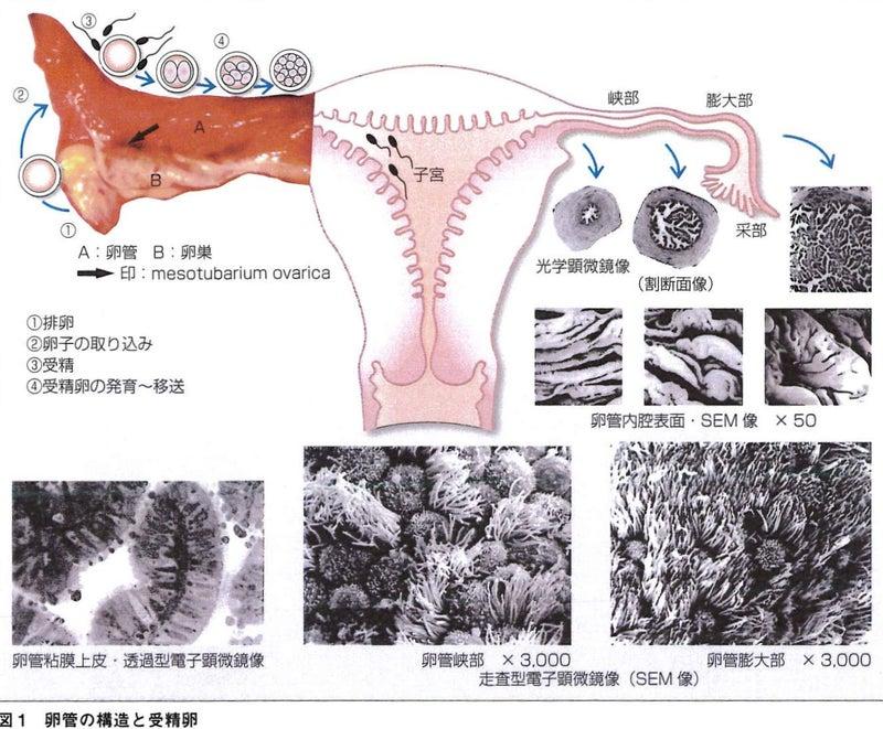 胚盤胞移植 着床時期