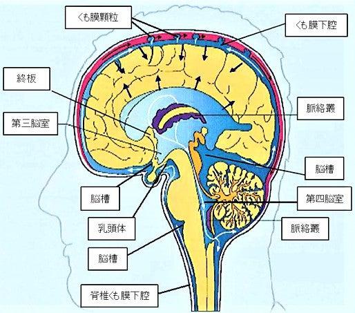 頭蓋骨治療とは?~脳脊髄液の役割~