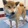 トリコロ's柴犬ワンコ!の画像