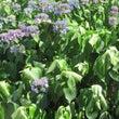 グッタリ紫陽花の葉