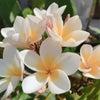 Tropical Flower Tipanie Plumeria Pitateの画像