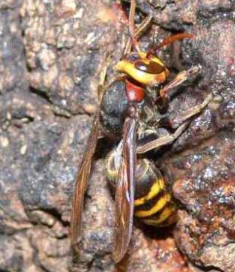 嫌い 匂い な が スズメバチ