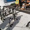 ペンギン散歩見学
