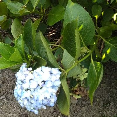 奇跡の花と養子の件の記事に添付されている画像