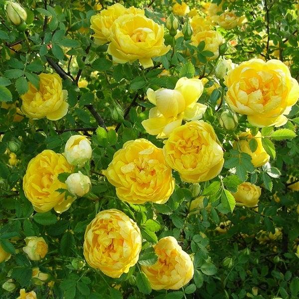 意外と少ない 純黄色の四季咲きつるばら 天空のバラ園 Celestial Roses