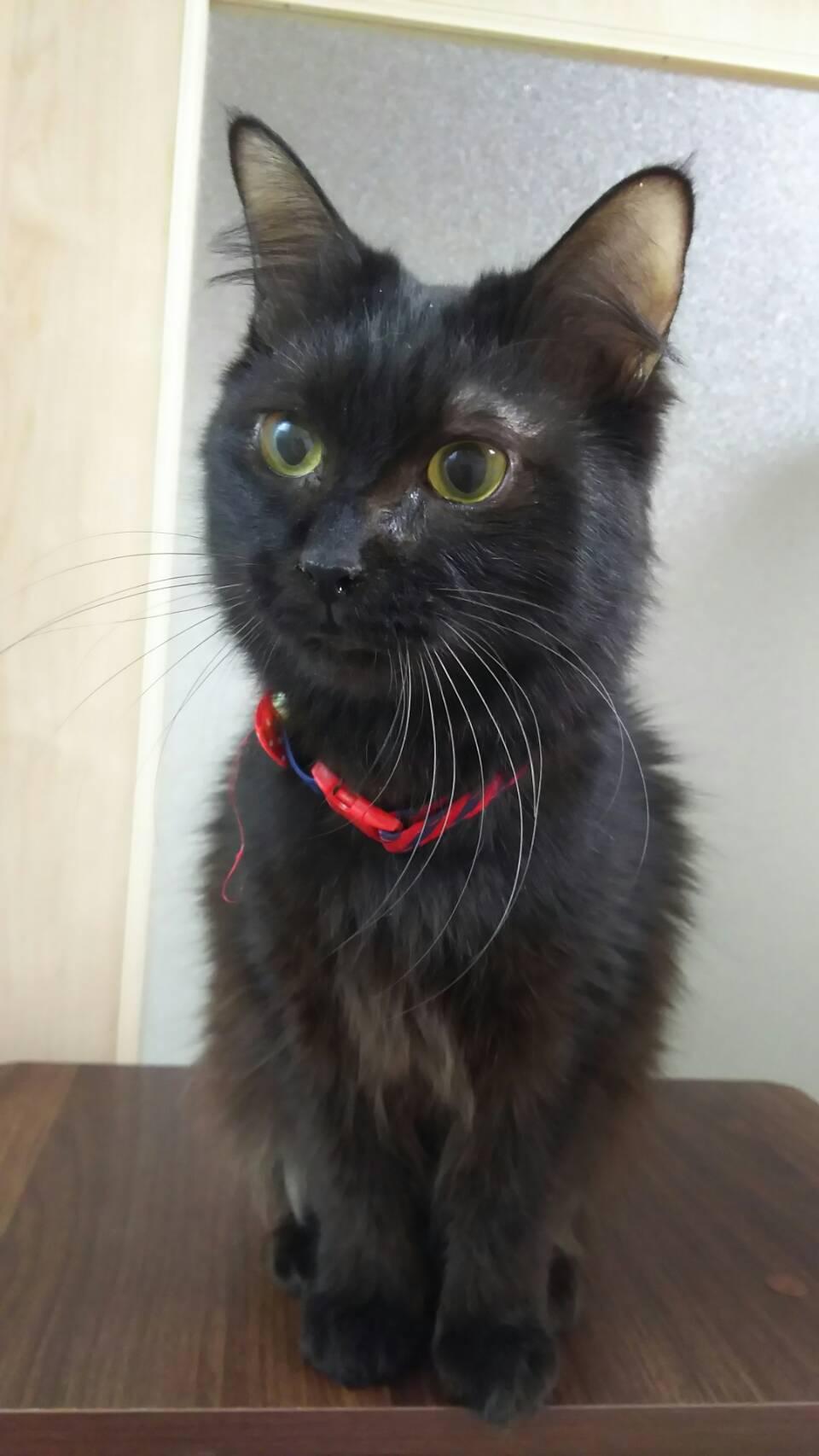 895番 黒猫長毛 女の子