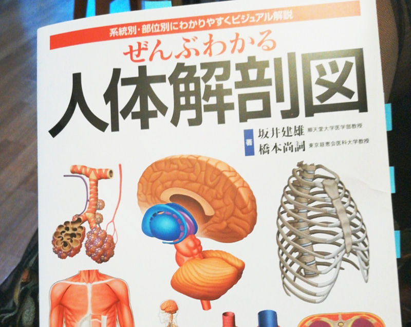筋肉 内臓