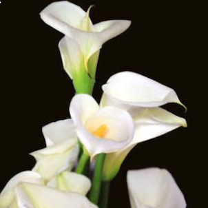 アプリコロ先生の胡蝶蘭、カラーのお花絞りレッスンへの画像