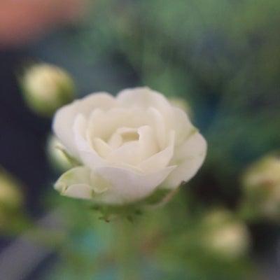 小さいバラたちの記事に添付されている画像