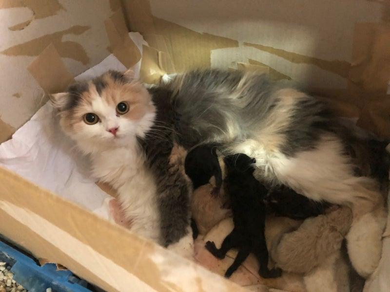 スコティッシュフォールド赤ちゃん出産 子猫