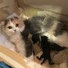 スコティッシュフォールド赤ちゃん出産(子猫出産)関西大阪の画像