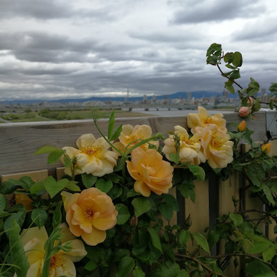 日陰でバラを育てる1(比較的)日陰OKのつるバラの記事に添付されている画像