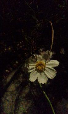 秋桜151002_1806~010001.jpg