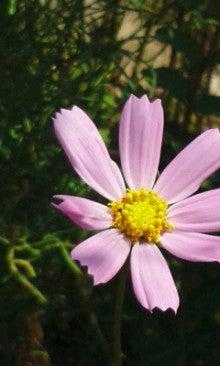 秋桜180718_1020~010001.jpg