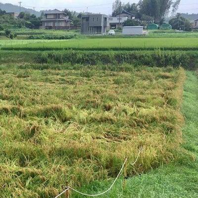 台風21号の被害‼️「女神のほほえみ稲刈りイベント」黄色信ですの記事に添付されている画像