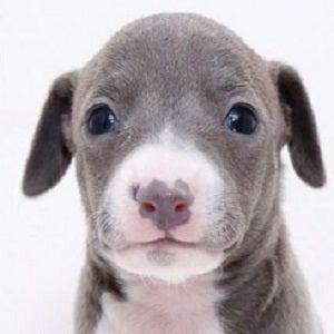 イタグレ 子犬