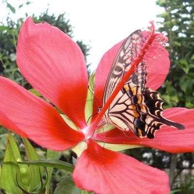 アゲハ蝶は美しい花の香りに身を寄せて休息中。|庭に咲く料理教室に飾る季節の花・ガの記事に添付されている画像
