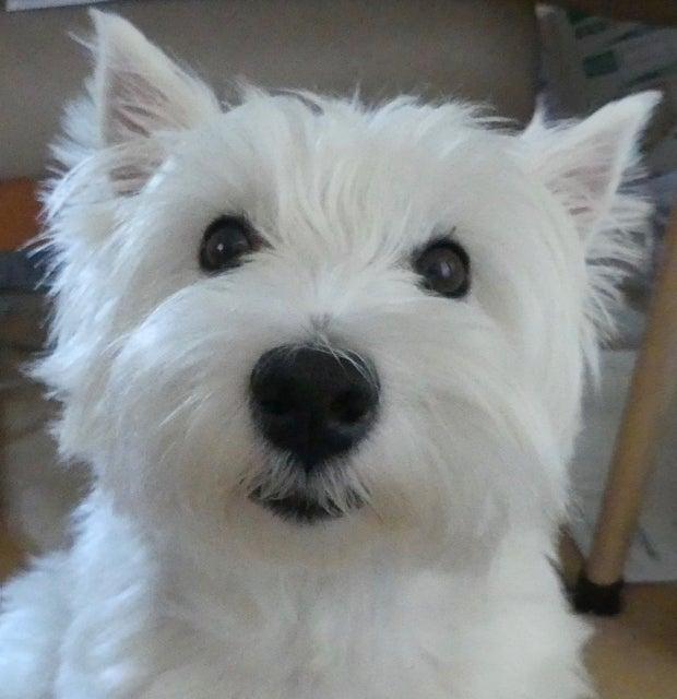 Resultado de imagen para 犬  Westie ハッピー