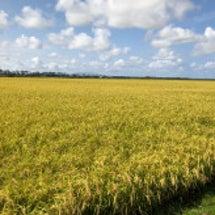 刈取りを待つ稲