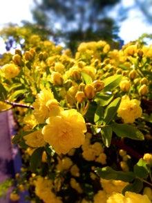 黄色いミモザ(ぱくたそ)