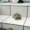 「猫亀ひなだん」できるかな?