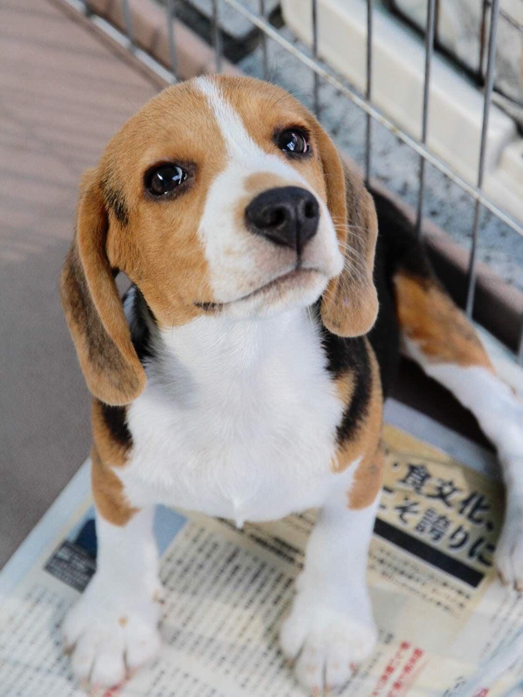 もうすぐ生後5ヶ月、ビーグル犬のチャッピーが幸せになれますように、。