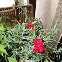 カーネンションのお花の記事に添付されている画像