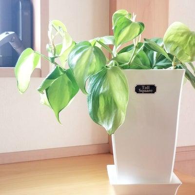 今お気に入りの観葉植物ベスト3の記事に添付されている画像