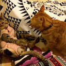 バリ猫ノエルの発情期と避妊手術の記事より