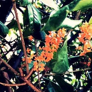 金木犀きんもくせいの花の画像