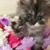 スコティッシュフォールド キャリコ系三毛猫 立ち耳ロング メス 子猫ブリーダー販売 大阪の画像