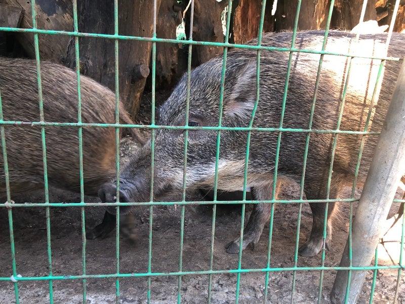 イノシシ 志村 動物園